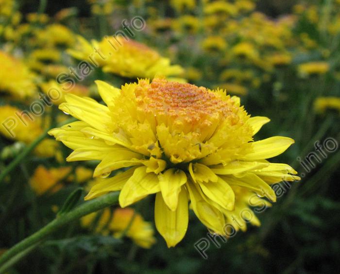 Сантини  мелкоцветковая кустовая хризантема  Flowerholland