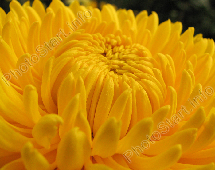 Yellow chrysanthemum close-up.
