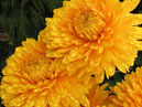 Two yellow chrysanthemums Yantarnaya Lady (translation from Russian - Amber Lady).  Size: 700x873.  File size: 651.62 KB