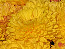 Flower-bed with yellow chrysanthemums Opal.  Size: 700x525.  File size: 425.84 KB
