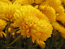Flower of chrysanthemum Mishal.  Size: 700x539.  File size: 281.24 KB