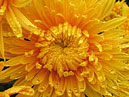 Flower of chrysanthemum Solnechniy Elf.  Size: 700x544.  File size: 507.50 KB
