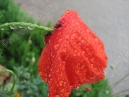 Poppy flower with raindrops  Size: 700x525.  File size: 128.47 KB