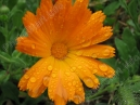 Calendula flower with raindrops  Size: 700x525.  File size: 130.67 KB