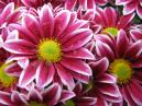 Red-white chrysanthemums Two Tone Pink. Close-up.  Size: 700x525.  File size: 456.21 KB