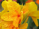 Canna lily Cleopatra - yellow with red dots.  Size: 700x933.  File size: 726.49 KB