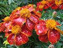 Marigolds with rain drops.  Size: 700x525.  File size: 502.11 KB