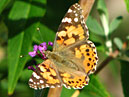 Painted Lady Butterfly (Cynthia cardui) on a sprig.  Size: 700x537.  File size: 348.77 KB