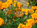 Painted Lady Butterfly (Cynthia cardui) on a marigold flower.  Size: 700x525.  File size: 434.87 KB