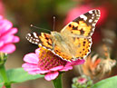 Painted Lady Butterfly (Cynthia cardui) on a zinnia.  Size: 700x525.  File size: 385.40 KB