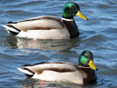 Migrant birds spend the winter in Sevastopol. Two mallard drakes (Anas platyrhynchos).  Size: 700x643.  File size: 485.37 KB