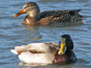 Migrant birds spend the winter in Sevastopol. A couple of mallards (Anas platyrhynchos).  Size: 700x798.  File size: 565.22 KB
