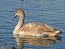 Swans in Sevastopol. A young grey swan. Photo 1.  Size: 700x646.  File size: 485.17 KB