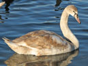 Swans in Sevastopol. A young grey swan. Photo 4.  Size: 700x862.  File size: 580.14 KB
