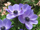 Blue anemones Mr. Fokker.  Size: 700x635.  File size: 487.92 KB