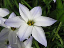 Ipheion uniflorum Wisley Blue.  Size: 700x677.  File size: 416.94 KB
