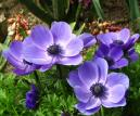 Flowers of Mr. Fokker anemones.  Size: 700x582.  File size: 449.94 KB