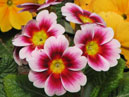 Red white primrose.  Size: 700x636.  File size: 396.14 KB