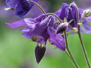 Purple Columbine flowers.  Size: 700x933.  File size: 491.36 KB
