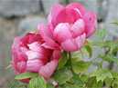 Two rosy peonies.  Size: 700x525.  File size: 397.66 KB