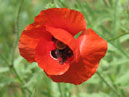 Image of red poppy flower  Size: 700x933.  File size: 462.39 KB