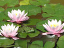 A frog among water-lily flowers.  Size: 700x446.  File size: 304.93 KB