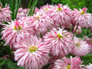 Pink and white daisies in Chersonesos.  Size: 700x535.  File size: 484.98 KB