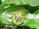 Green shiled-bug with white spots.  Size: 700x559.  File size: 404.67 KB