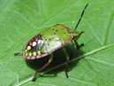 Green bug with black and white spots.  Size: 700x488.  File size: 317.01 KB