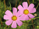 Two Cosmos flowers.  Size: 700x548.  File size: 313.88 KB