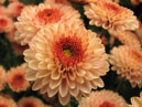 A garden chrysanthemum in NBG.  Size: 700x609.  File size: 358.12 KB