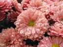 Garden chrysanthemums Terra Rosa with rain drops.  Size: 700x525.  File size: 443.13 KB